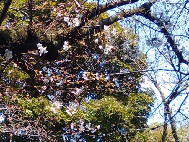 3月27日現在<br> 入口付近の桜の開花状況