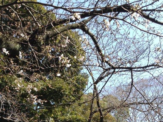 3月25日現在<br> 入口付近の桜の開花状況