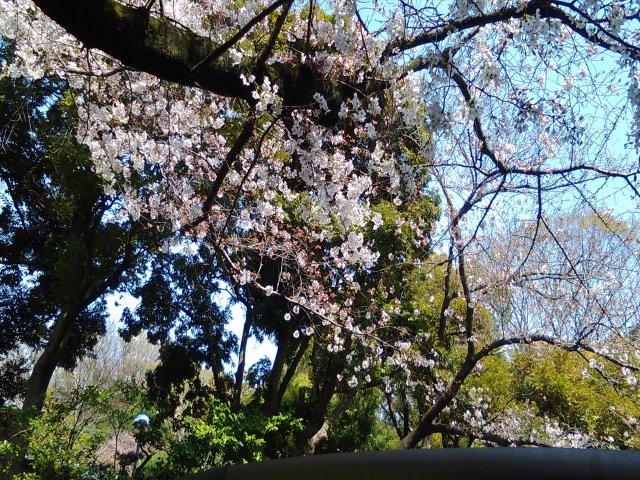 3月31日現在<br> 入口付近の桜の開花状況