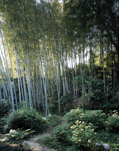自生の竹林