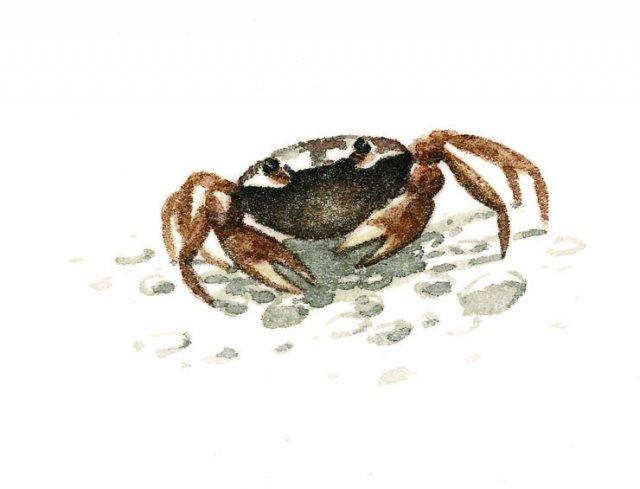 Sawa crab