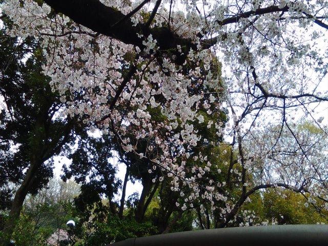 4月1日現在<br> 入口付近の桜の開花状況