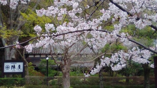 4月8日現在<br> エントランスの桜の開花状況