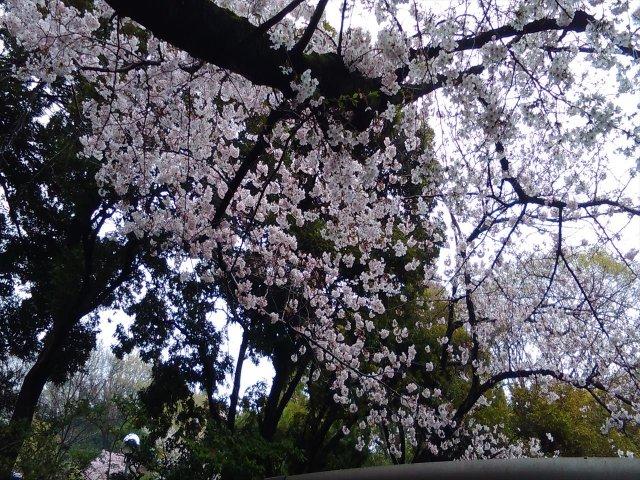 4月3日現在<br> 入口付近の桜の開花状況