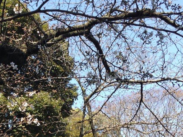 3月26日現在<br> 入口付近の桜の開花状況