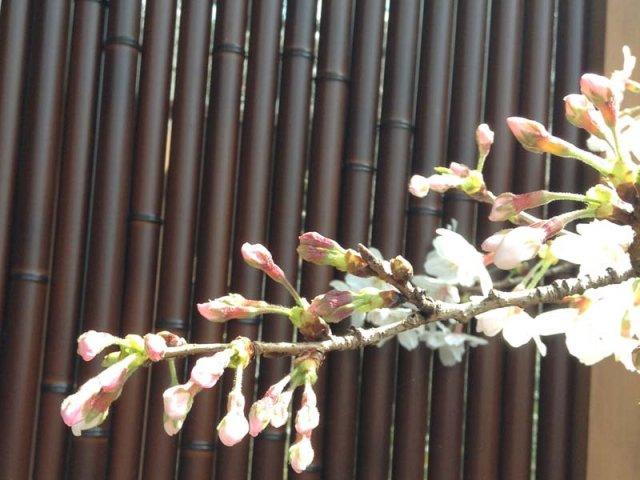 3月26日現在<br> 『夕顔』露天風呂の開花状況