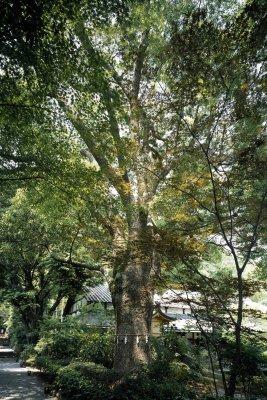 Jinya Totoro Tree