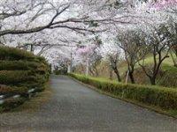 大山桜(伊勢原市)